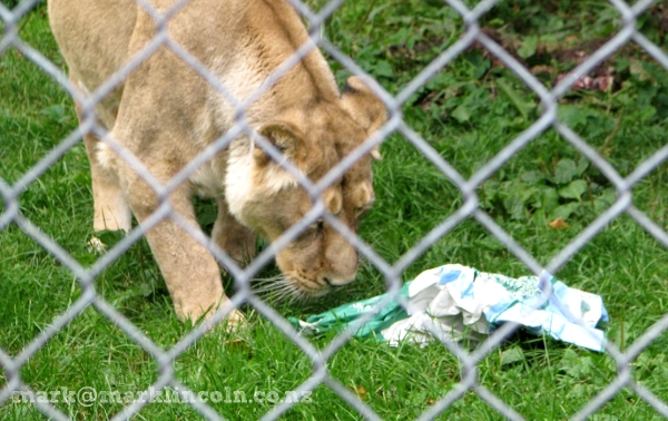 A lioness at Chester Zoo reads the duck poo article in The Press